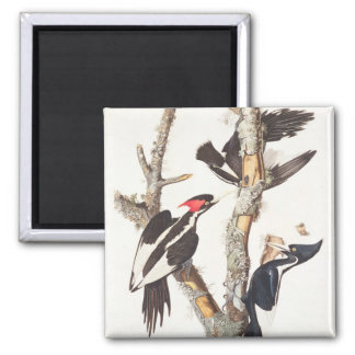 Ivory-billed Woodpecker, 1829, (print) 2 Inch Square Magnet