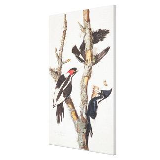 Ivory-billed Woodpecker, 1829, (print) Canvas Print