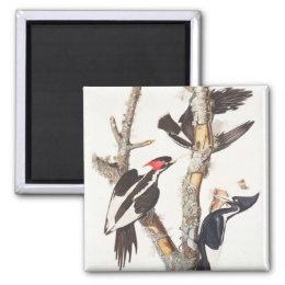 Ivory-billed Woodpecker, 1829, (print) Magnet