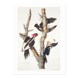 Ivory-billed Woodpecker, 1829, (print) Postcard