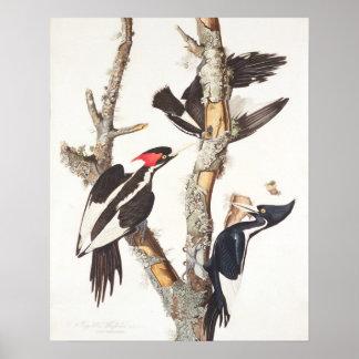 Ivory-billed Woodpecker, 1829, (print) Poster