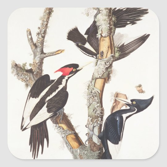 Ivory-billed Woodpecker, 1829, (print) Square Sticker