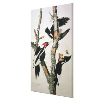 Ivory-billed Woodpecker, from 'Birds of America' Canvas Print