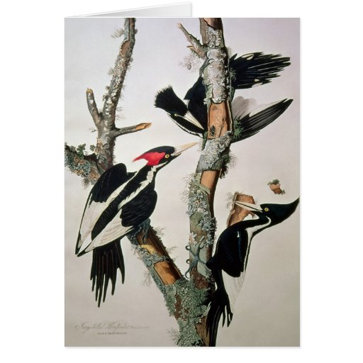 Ivory-billed Woodpecker, from 'Birds of America' Card