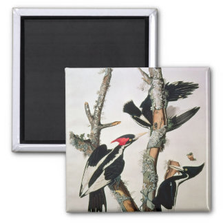 Ivory-billed Woodpecker, from 'Birds of America' 2 Inch Square Magnet