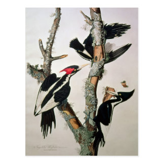 Ivory-billed Woodpecker, from 'Birds of America' Postcard