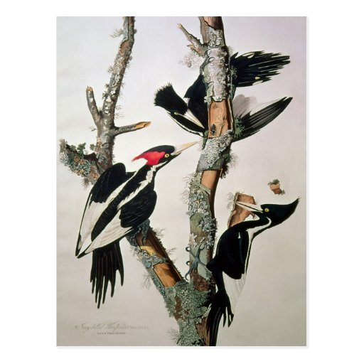Ivory-billed Woodpecker, from 'Birds of America' Post Card