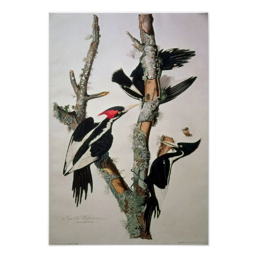 Ivory-billed Woodpecker, from 'Birds of America' Print