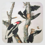 Ivory-billed Woodpecker, from 'Birds of America' Square Sticker