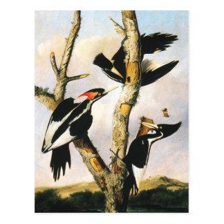 Ivory-billed Woodpeckers (Joseph Bartholomew Kidd) Postcard