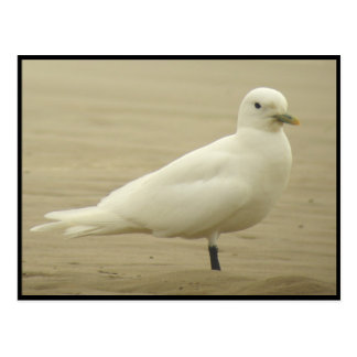 Ivory gull Postcard