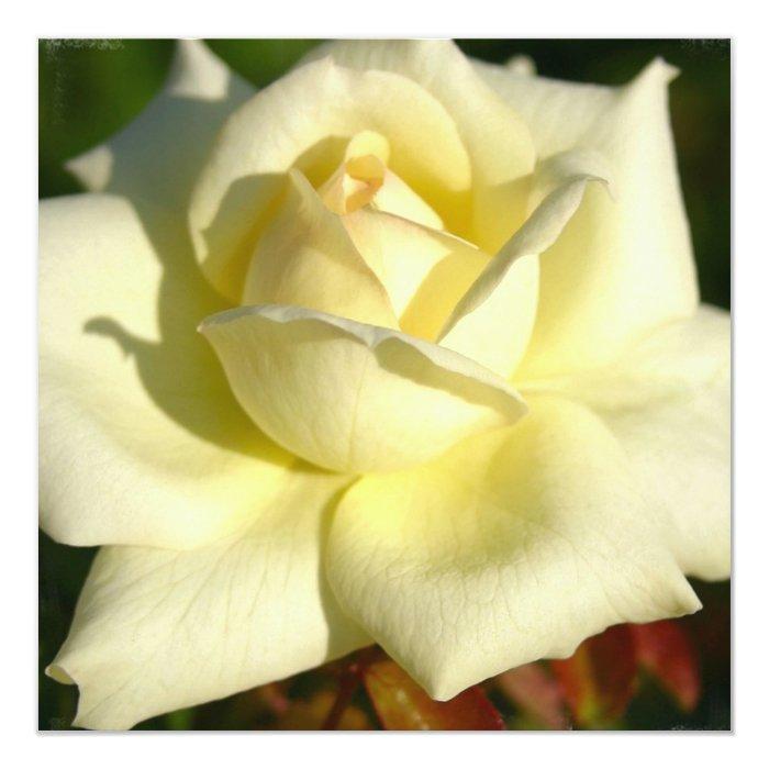 Ivory Rose Invitation