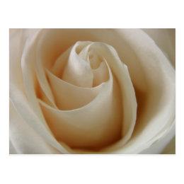 Ivory White Rose Flower Postcard