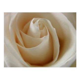 Ivory White Rose Flower Postcard