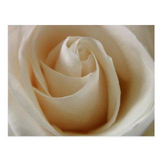 Ivory White Rose Flower Postcards