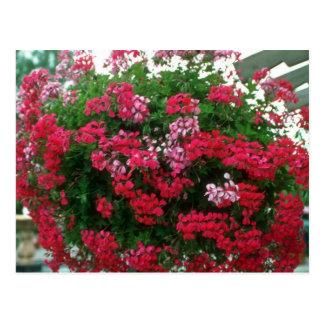 Ivy Geranium (Pelargonium Peltatum) flowers Postcard