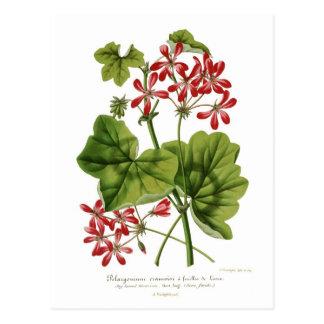 Ivy-leaf Geranium Postcard