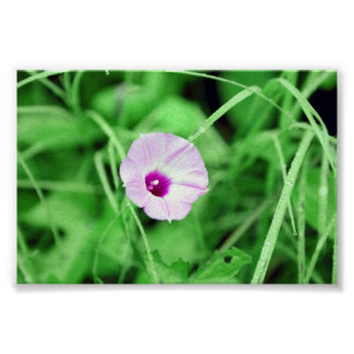 Ivy Leaved Morning Glory Poster