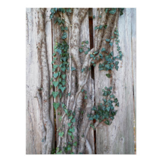 Ivy & Vines on Wood Fence Poster