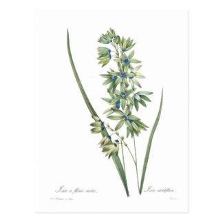 Ixia viridiflora postcard