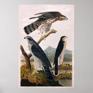 J.J. Audubon (Goshawk, Stanley Hawk) (1829) Poster