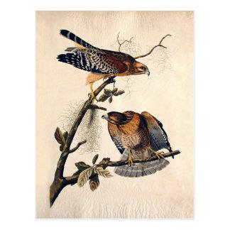 J.J. Audubon (Red Shouldered Hawk) (1829) Postcard