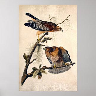 J.J. Audubon (Red Shouldered Hawk) (1829) Poster
