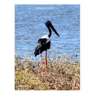 JABIRU IN RURAL QUEENSLAND AUSTRALIA POSTCARD