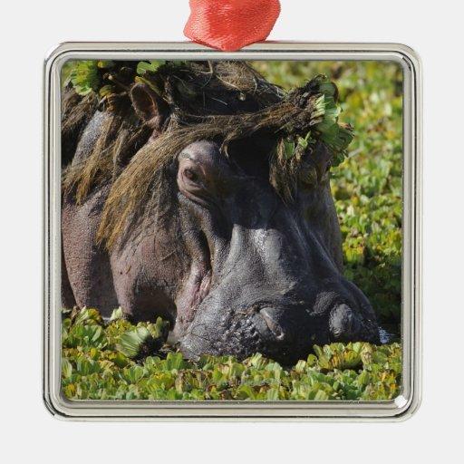 Jacana que se coloca en el hipopótamo adorno cuadrado plateado