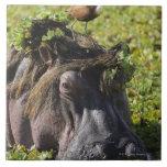 Jacana que se coloca en el hipopótamo (Hippopotamu Azulejo Cuadrado Grande