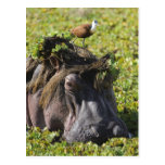 Jacana que se coloca en el hipopótamo postal