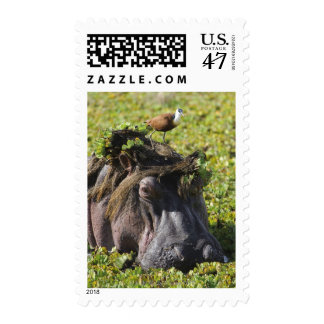 Jacana standing on hippo's (Hippopotamus Postage