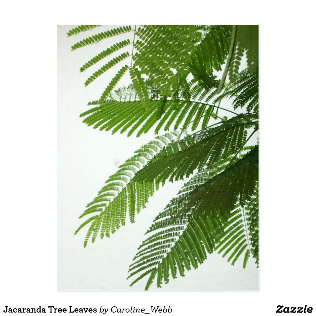Jacaranda Tree Leaves Postcard  Jacaranda Tree Leaves
