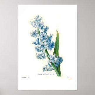 Jacinto azul póster