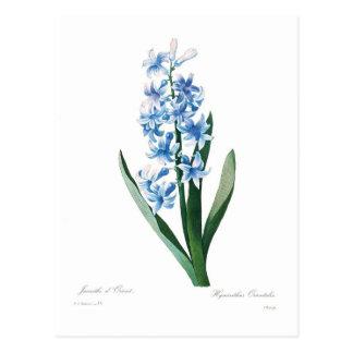 Jacinto azul tarjeta postal