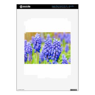 Jacintos de uva azules pegatina skin para iPad 3