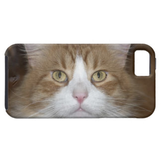 Jack domestic orange and white maine coon cat iPhone 5 cover