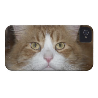 Jack domestic orange and white maine coon cat iPhone 4 case