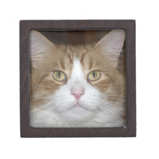 Jack domestic orange and white maine coon cat jewelry box