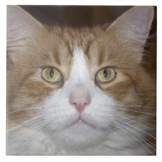 Jack domestic orange and white maine coon cat tile