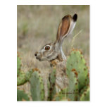 Jack Rabbit - Cactus - 2 - 2009 Postcard