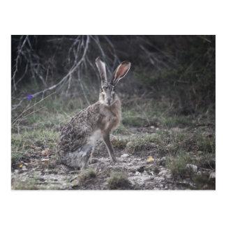 Jack Rabbit Postcard