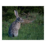 Jack Rabbit Posters