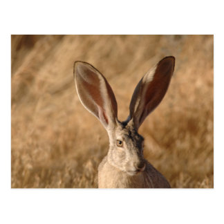 Jack rabbit with large ears photo postcard