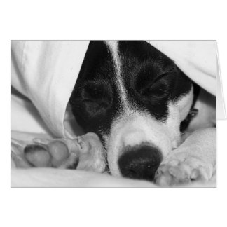 Jack Russel / Rat terrier mix in covers Card