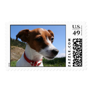 Jack Russell Close UP Postage