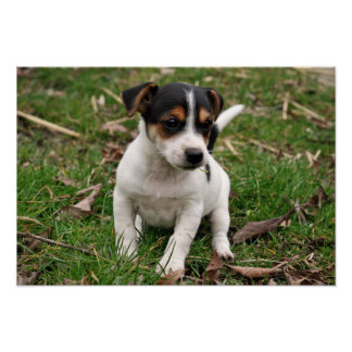 Jack Russell Perrier Puppy Poster 2