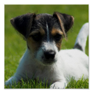 Jack Russell Puppy Poster Print