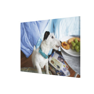 Jack russell terrier. 2 canvas print
