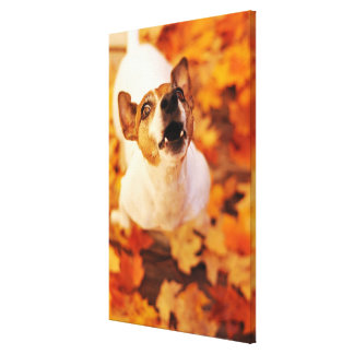 Jack Russell Terrier barking and jumping, Autumn Canvas Print